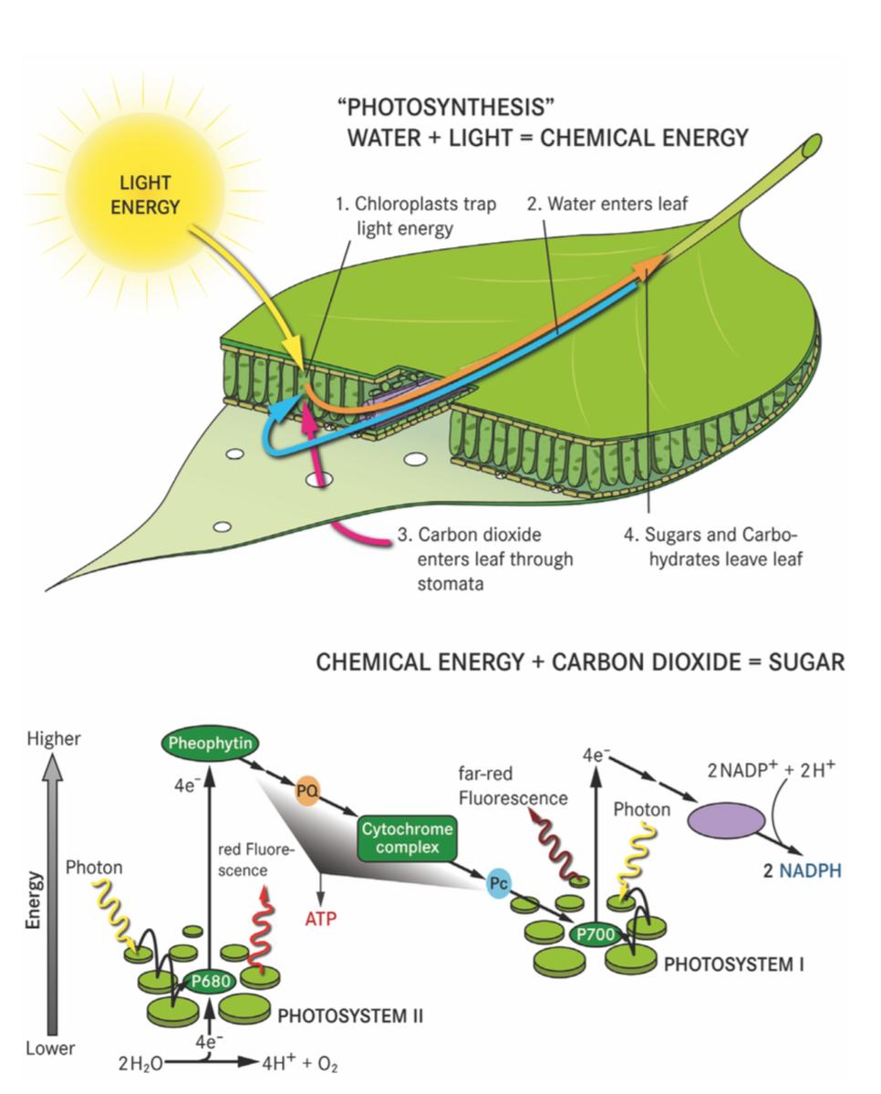 Fotosintesi e rilascio della fluorescenza © ESA