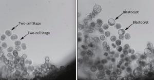 Gi embrioni di topo al decollo e dopo circa 80 ore di permanenza in orbita. Credit: China Daily