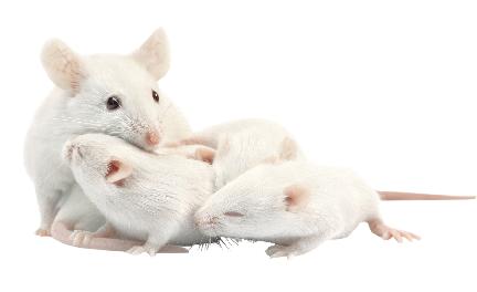 Tre topolini bianchi